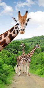 "Giraffes ""posing"" for photo at Kruger National Park, South Africa"